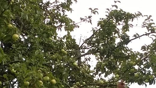 jabłonka z pszczołami