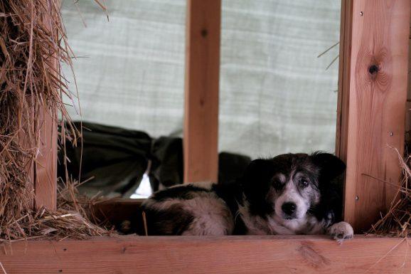 pies w domu ze słomy